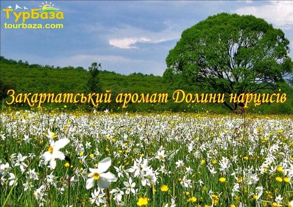 Закарпатський_аромат_Долини_Нарцисів