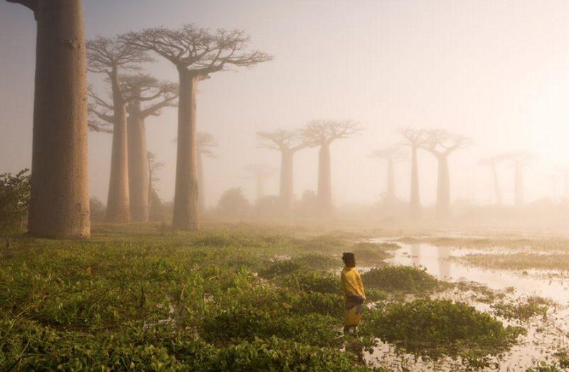 Баобаби острова Мадагаскар