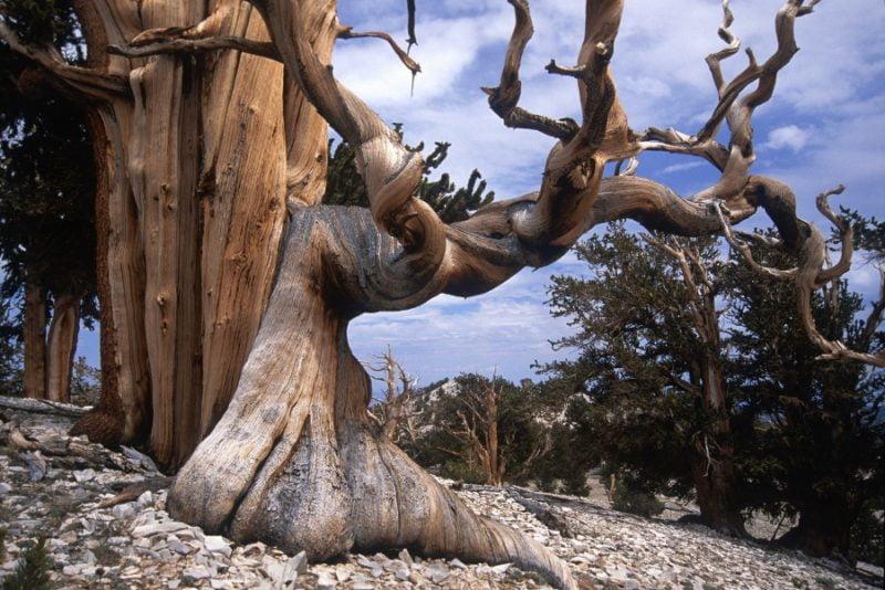 Брістлеконські сосни – найстаріші дерева на Планеті