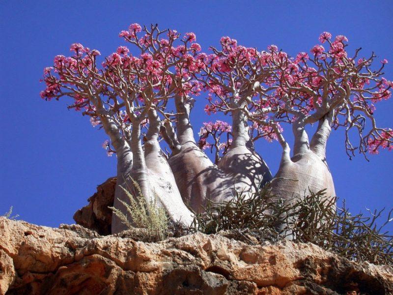 Пляшкові дерева острова СокотраПляшкові дерева острова Сокотра