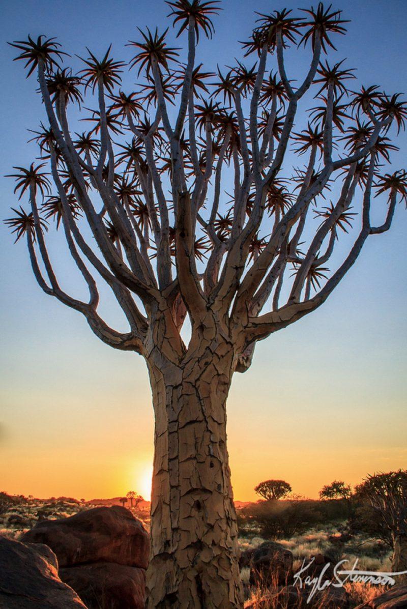 Сагайдачне дерево, Намібія